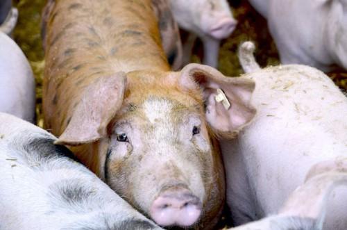 Landfleischerei-Rabe-Deuna-Eichsfeld-Thüringen-Duroc Schwein
